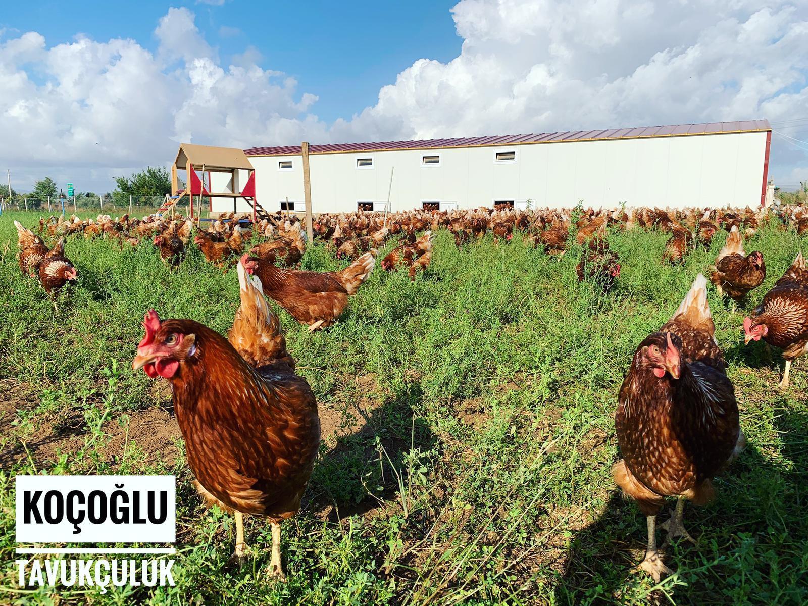 organik tavukculuk