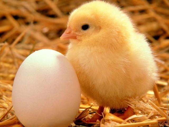 yumurtalik civciv